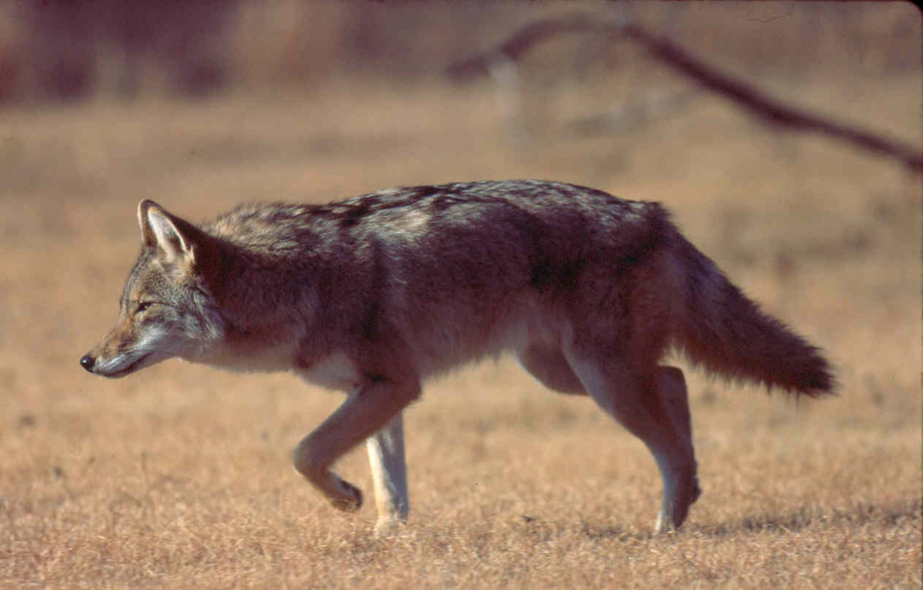 coyote_in_field