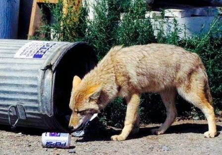 Coyote and garbage can